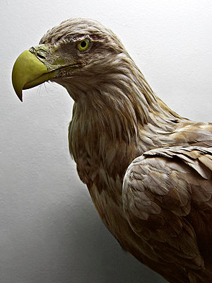 Tierpräparat Adler - p1092m901252 von Rolf Driesen