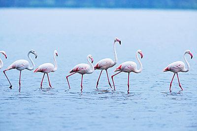 Flamingos in single file - p533m1152679 by Böhm Monika
