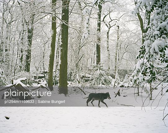 Wolf - p1294m1159633 von Sabine Bungert