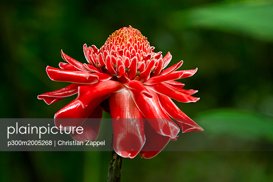 Thailand, Chiang Dao, flower of red ginger - p300m2005268 von Christian Zappel