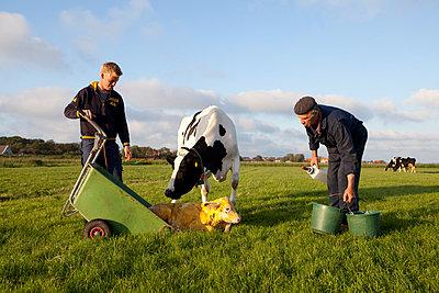 Kuh mit Kälbchen - p896m835524 von Anke Teunissen