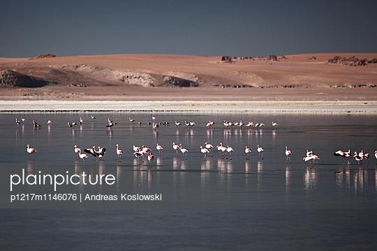 Flamingos - p1217m1146076 von Andreas Koslowski