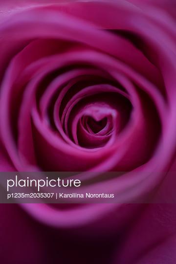 Rose - p1235m2035307 von Karoliina Norontaus