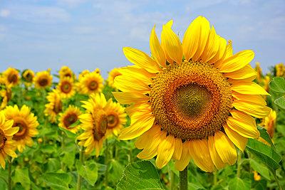 sunflower field - p876m2128172 by ganguin