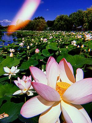 Lake with lotus flowers - p1189m2263798 by Adnan Arnaout