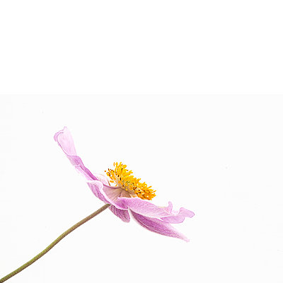 Artistic portrait of pink Japanese Anenome - p1470m1541285 by julie davenport