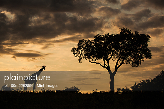 A silhouette of a giraffe and a tree, Giraffa camelopardalis giraffa, at sunset - p1100m2292856 by Mint Images