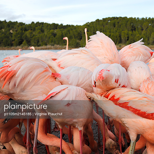 Flamingos - p1105m2145185 by Virginie Plauchut