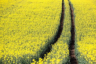 Rape field - p1057m1440449 by Stephen Shepherd
