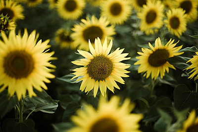 Close-up of sunflower growing outdoors during sunny day - p1166m2095475 by Cavan Images