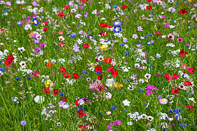 Blumenwiese I - p427m917313 von R. Mohr