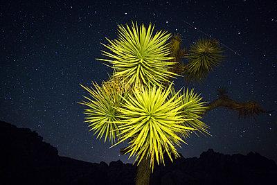 Joshua tree in desert at night - p924m1513461 by Sean Murphy