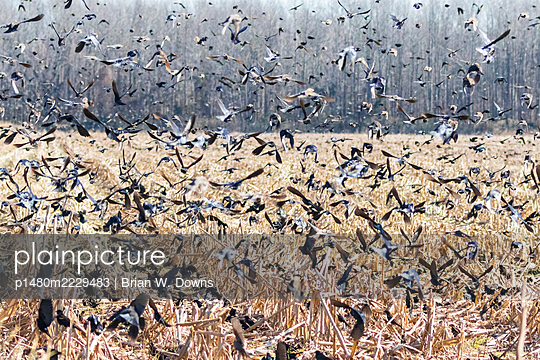 Flock of black birds leaving a field - p1480m2229483 by Brian W. Downs