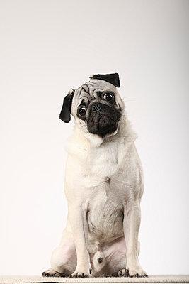 Pugdog - p403m658586 by Helge Sauber