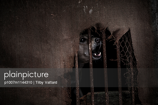Dog barking behind bars - p1007m1144310 by Tilby Vattard