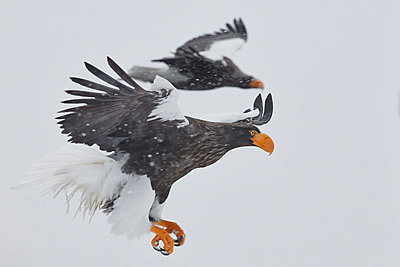 Steller's Sea Eagle, Haliaeetus pelagicus, on frozen bay in winter. - p1100m1520133 by Mint Images