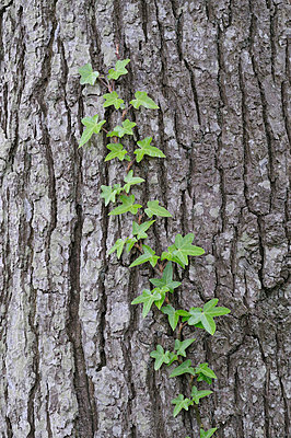 Germany, Common ivy growing on tree trunk - p30017530f by Martin Rügner