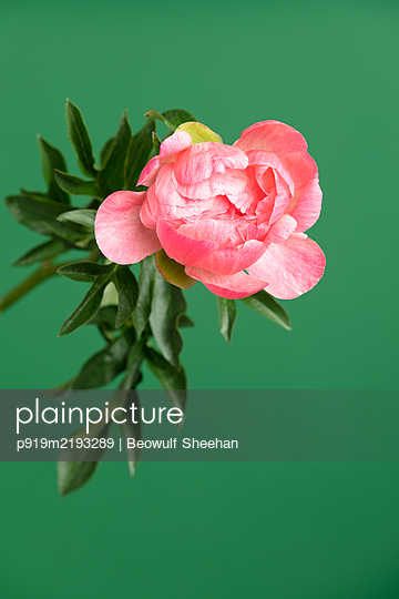 Peony flower in front of green background - p919m2193289 by Beowulf Sheehan