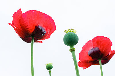 Close up of red poppy flowers  - p1057m2099902 by Stephen Shepherd