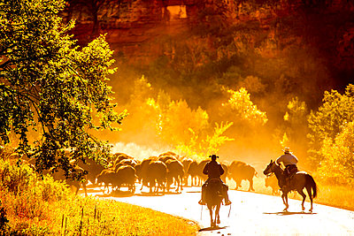 Buffalo Round Up, Custer State Park, Black Hills, South Dakota, United States of America, North America - p871m1167796 by Laura Grier