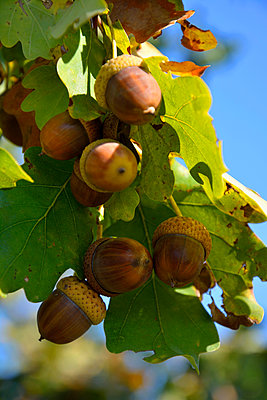 acorns and leaves - p876m2073386 by ganguin