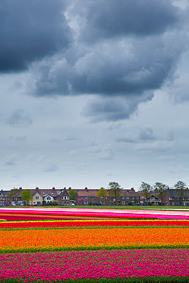 Tulip fields - p1032m1139035 by Fuercho