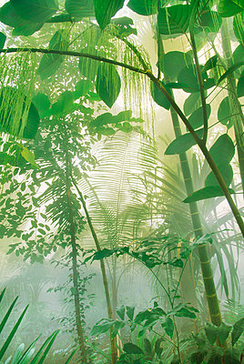 Rainforest trees, plants, shrubs and leaves.  - p1100m875561 by Frans Lanting