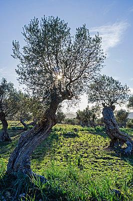 Olivenbäume auf Mallorca - p177m1332516 von Kirsten Nijhof