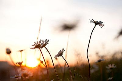 Margeritenblüten im Sonnenuntergang - p533m1474768 von Böhm Monika
