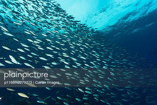 shoaling Fusilier fish in Raja Ampat / Indonesia - p1166m2279273 by Cavan Images