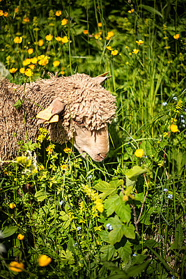 Single sheep feeding on grass - p1007m2216483 by Tilby Vattard