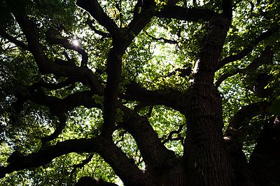 Canopy of aged Sessile oak tree - p1047m2039088 by Sally Mundy