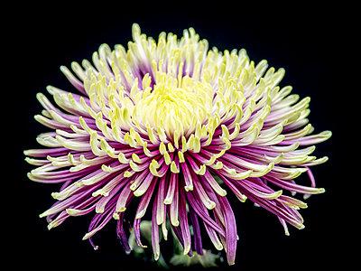 Chrysanthemum flower - p401m2272876 by Frank Baquet