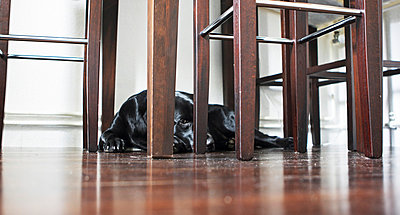 Dog under a table - p703m699020 by Anna Stumpf