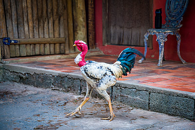 Long-legged rooster - p1170m1111612 by Bjanka Kadic