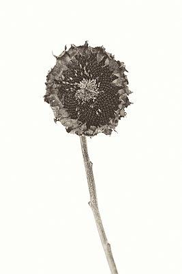 Verblühte Sonnenblume - p1335m1222582 von Daniel Cullen