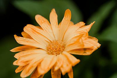 Orange-coloured blossom, close-up - p1628m2288896 by Lorraine Fitch