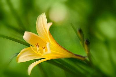 Gelbe Taglilie - p3300552 von Harald Braun