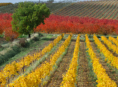 Vineyard and fields in autumn, Provence, France - p429m983103f by Planet Pictures