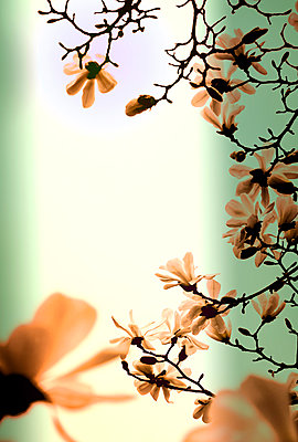 Magnolia - p1047m1007780 by Sally Mundy