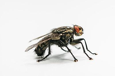 Single fly, Brachycera - p1437m2057083 by Achim Bunz