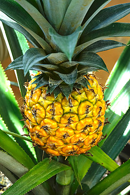 Pineapple growing on shrub - p300m2023449 von Thomas Jäger