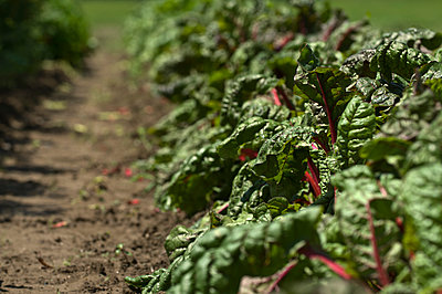 A row of green vegetables on a farm in NH. - p343m1168461 by Joe Klementovich