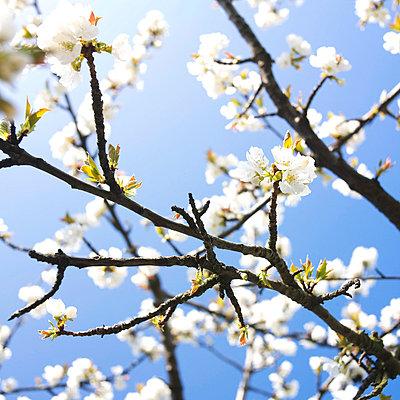 Apple tree in blossom - p8130506 by B.Jaubert