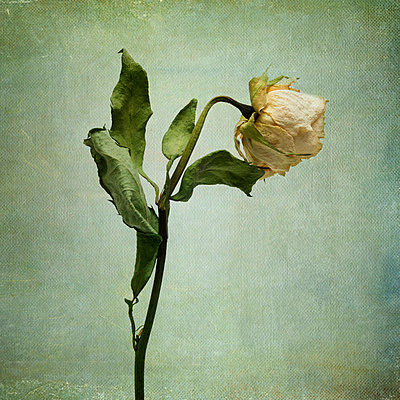 White Rose desiccated. - p813m1000136 by B.Jaubert