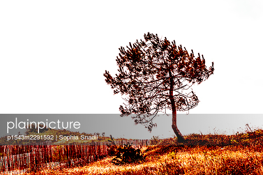 Pine by the sea - p1543m2291592 by Sophia Snadli