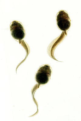 Close up of three tadpoles - p1302m2214844 by Richard Nixon