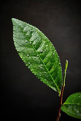 Tea plant - p851m2073221 by Lohfink