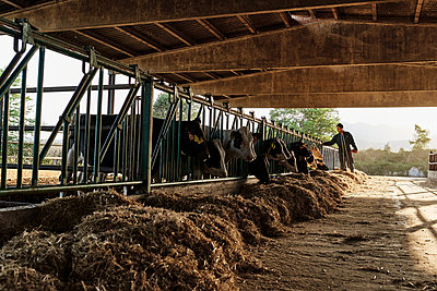 Farmer feeding cows at shed in farm - p300m2214203 by Veam