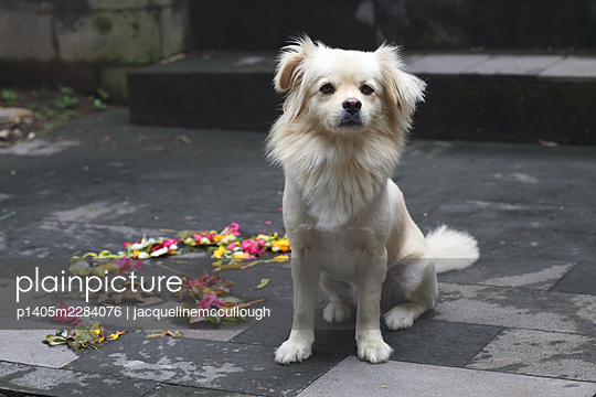 White dog sitting on street - p1405m2284076 by jacquelinemccullough